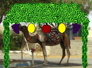 """Then the question arises of  whether a Sukkah can be built on top of a camel."""